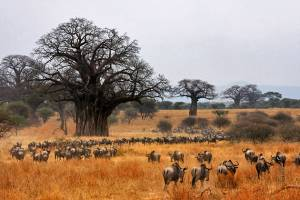 safari, tour tarangire