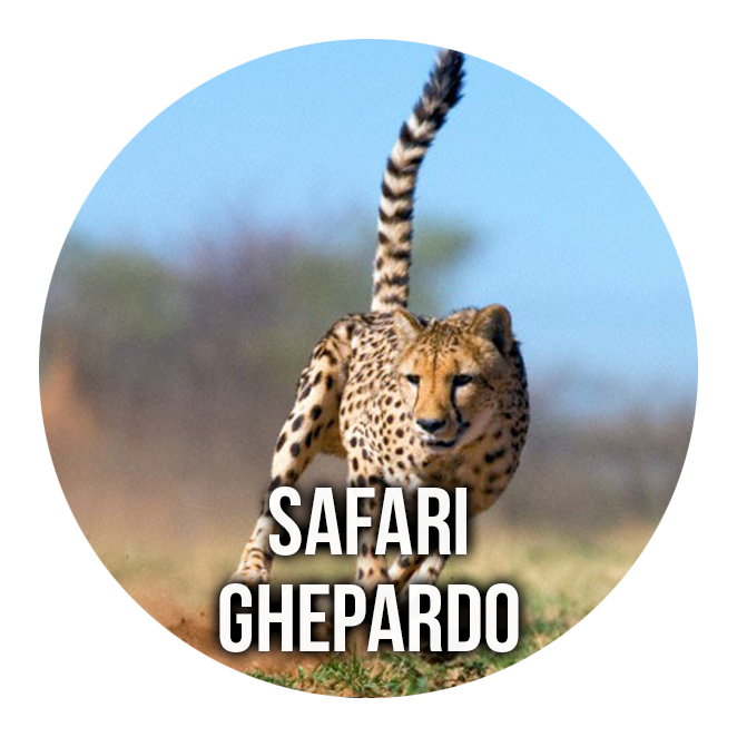 Safari Ghepardo