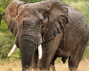 elefante africano safari