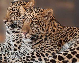 giaguaro tanzania