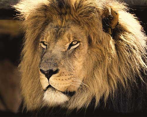 leone africano safari