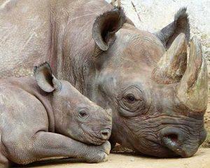 rinoceronte nero safari