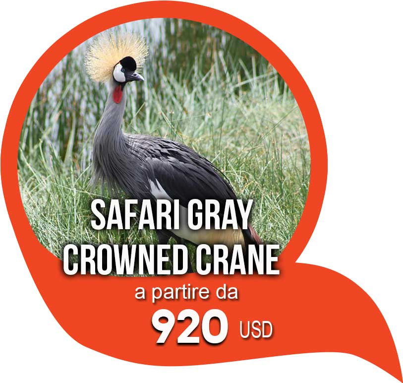 safari gray crowned crane