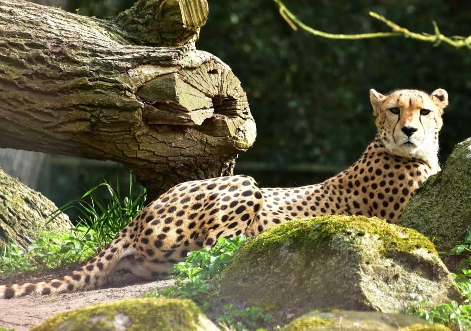 Il Ghepardo: scopriamo il felino più veloce