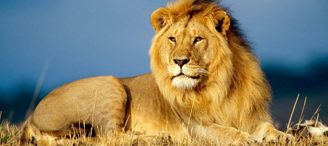 leone africano