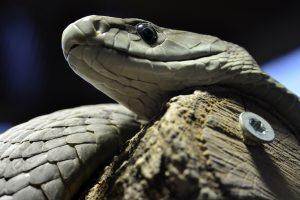serpente mamba nero - sette passi