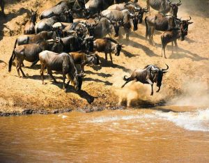 bufali serengeti