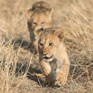cuccioli leoni serengeti