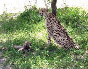 felini serengeti