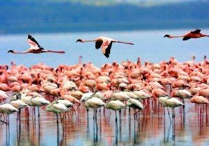 fenicotteri lago manyara