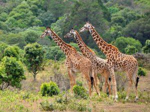 giraffe lago manyara