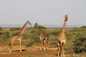 giraffe parco lago manyara