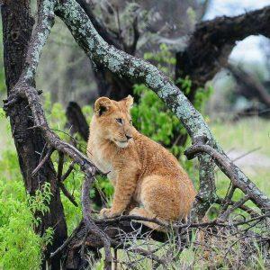 leone parco del serengeti