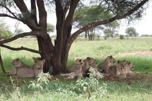 leonesse serengeti