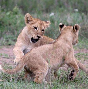 leoni parco nazionale del serengeti