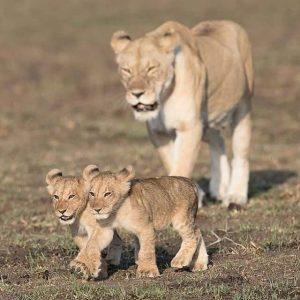 leoni serengeti