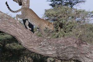 leopardo parco del serengeti