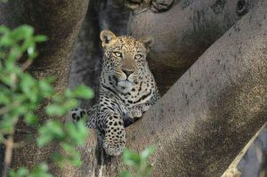 leopardo serengeti