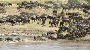 migrazione serengeti