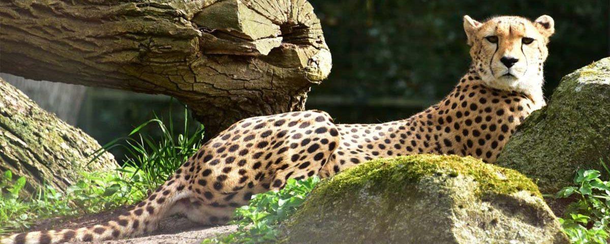 Ghepardo il felino più veloce