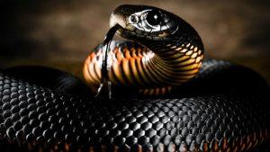 Mamba nero Serpente