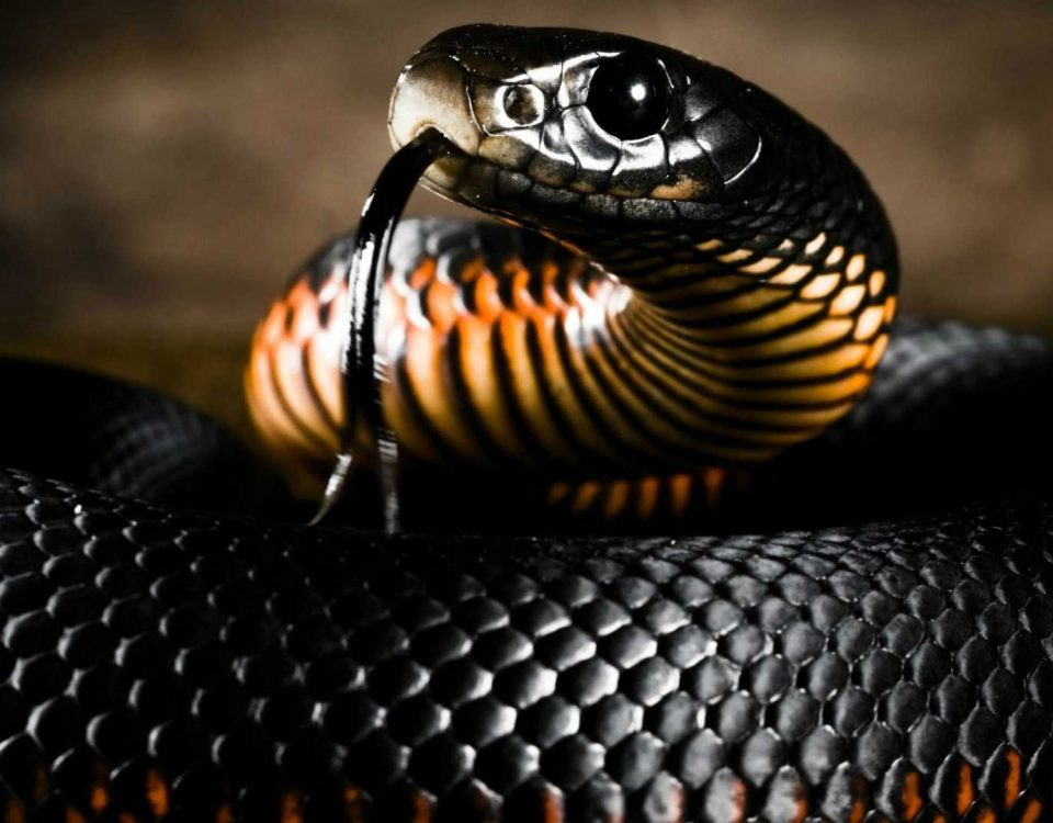 Mamba nero Serpente