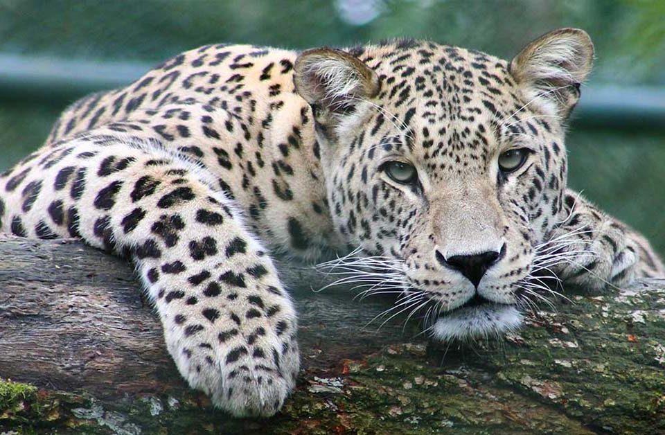 Leopardo felino superpredatore