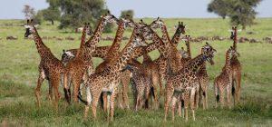 giraffe parco di arusha