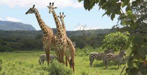 giraffe parco nazionale di arusha