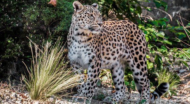 leopardo pelliccia