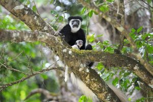 scimmie arusha
