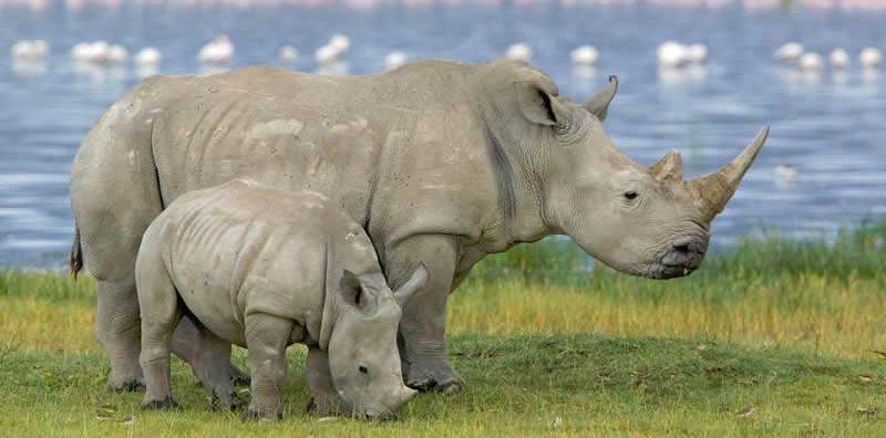 rinoceronte nero