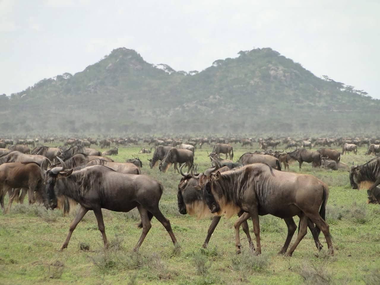 Gnu Ndutu Safari Avventura