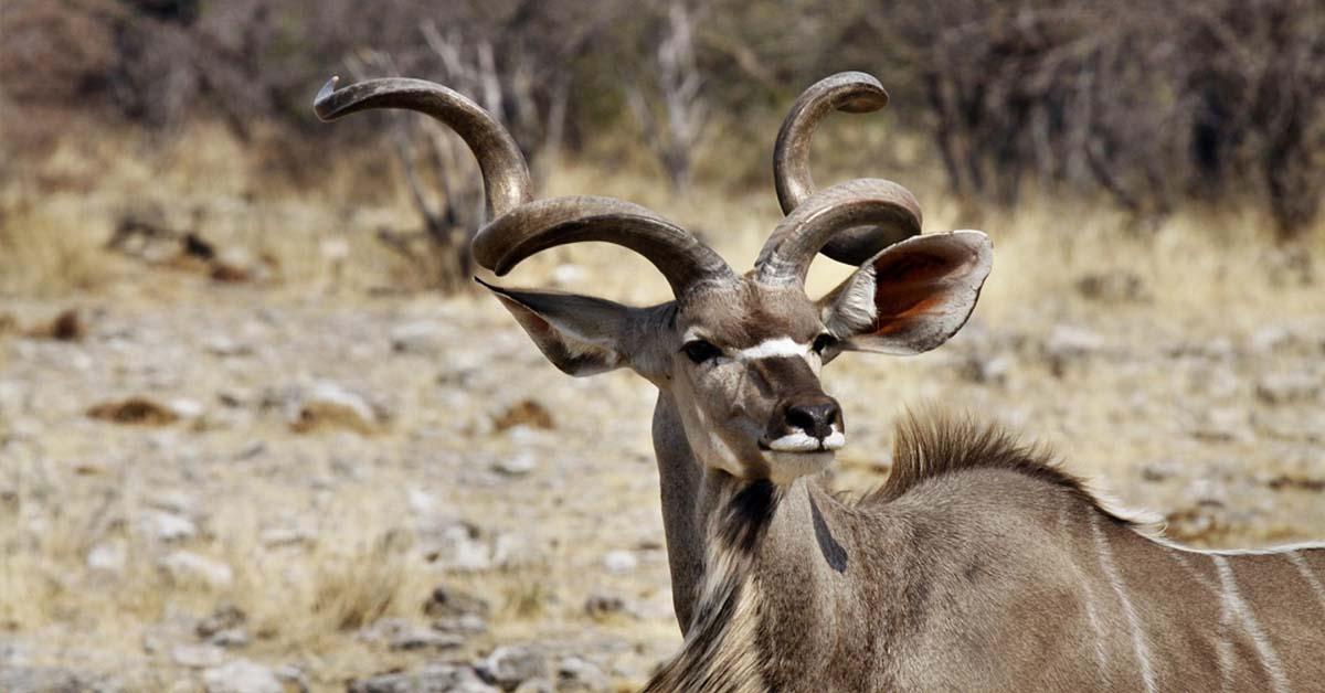 Greater kudu: the majestic East African Antelope Safari