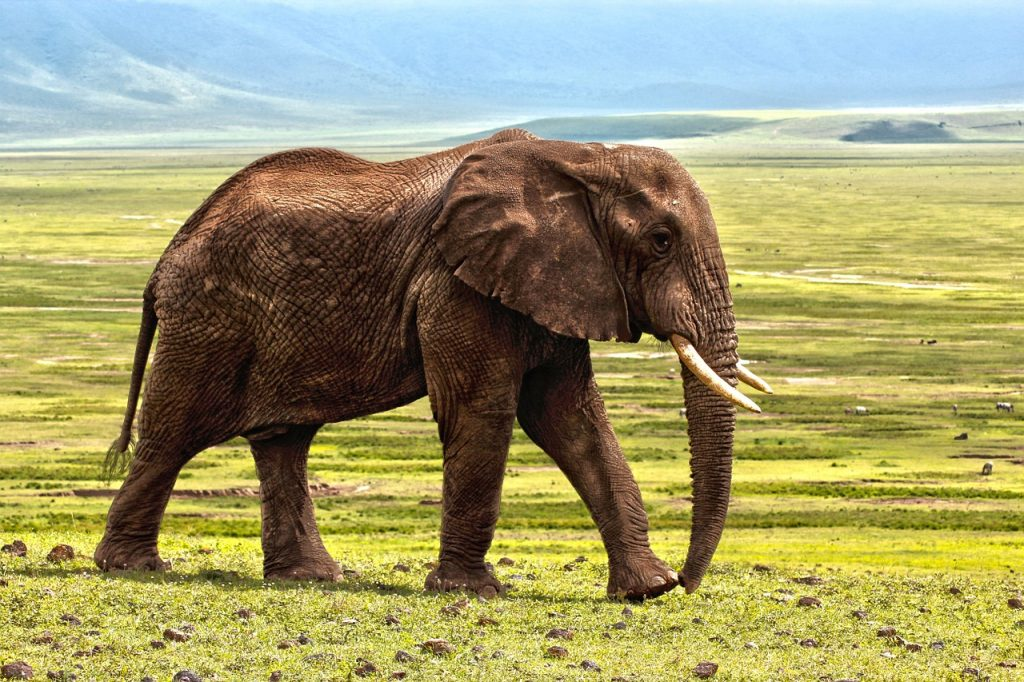 African elephant facts