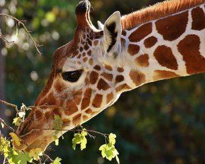 Tanzania tour giraffe