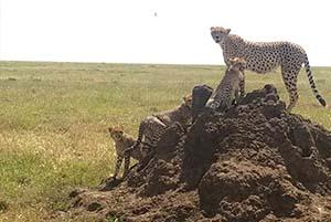 Parque del Serengueti a la Reserva de Ngorongoro