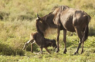 De Ndutu au Serengeti