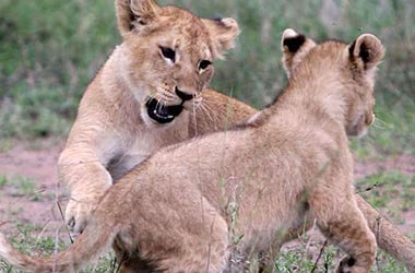 Fauna parco del Serengeti