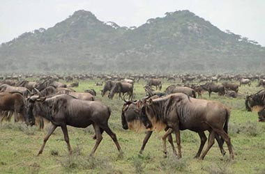 Ndutu Safari