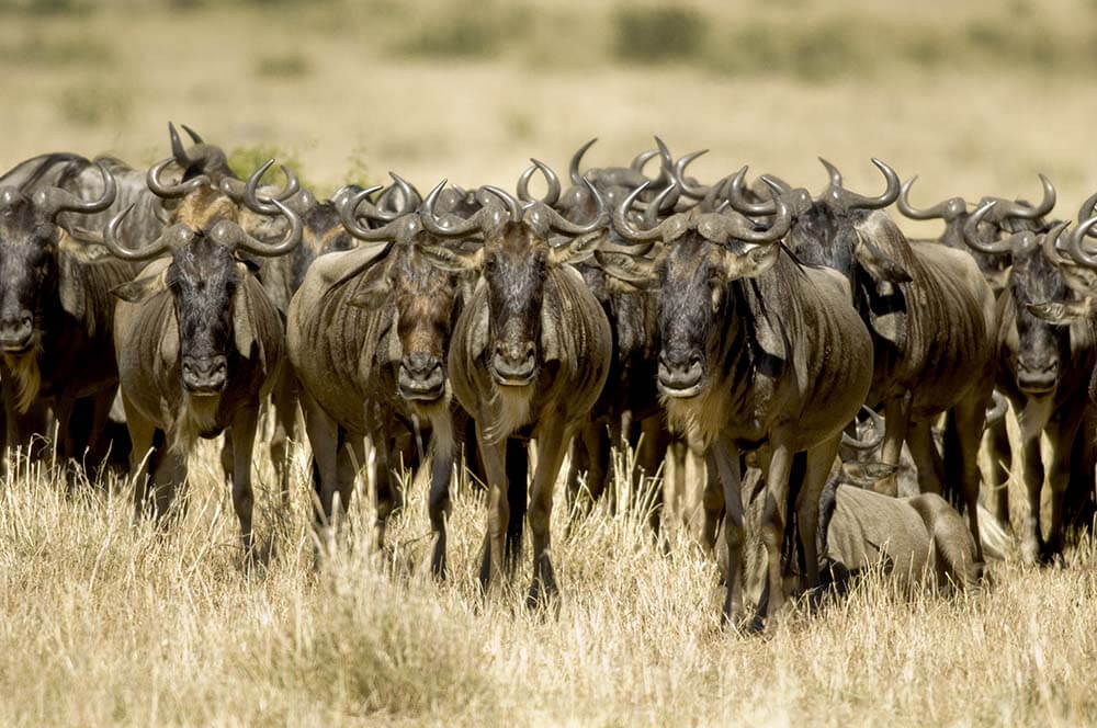 Grande Migrazione Masai Mara