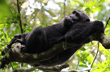Scimpanzé gola di Kyambura
